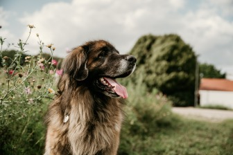 Leonberger auf einer Blumenwiese